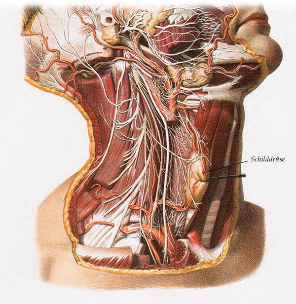 Atemberaubend Hals Nerven Anatomie Fotos - Anatomie Von Menschlichen ...