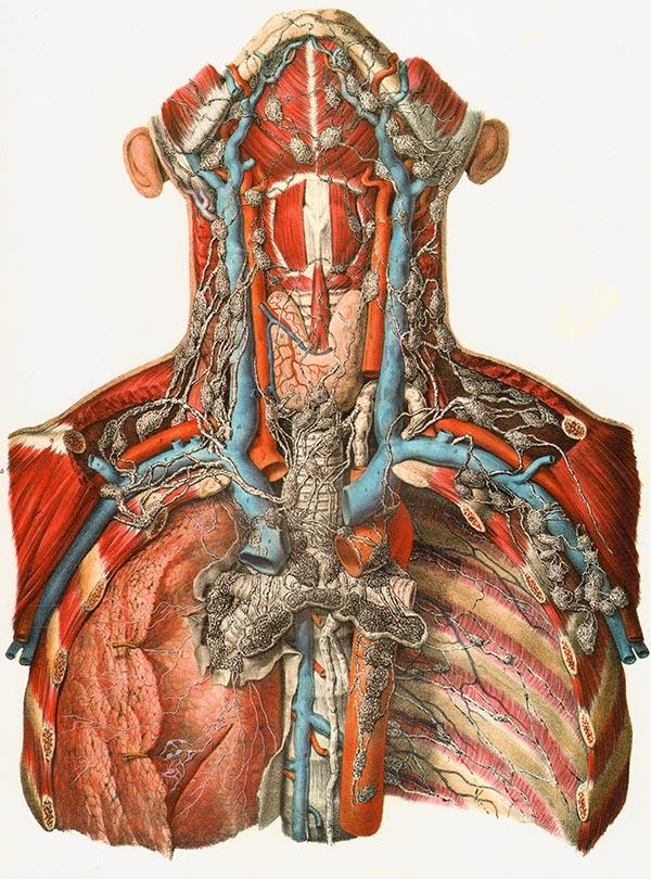 Niedlich Hals Lymphknoten Anatomie Fotos - Anatomie Von Menschlichen ...
