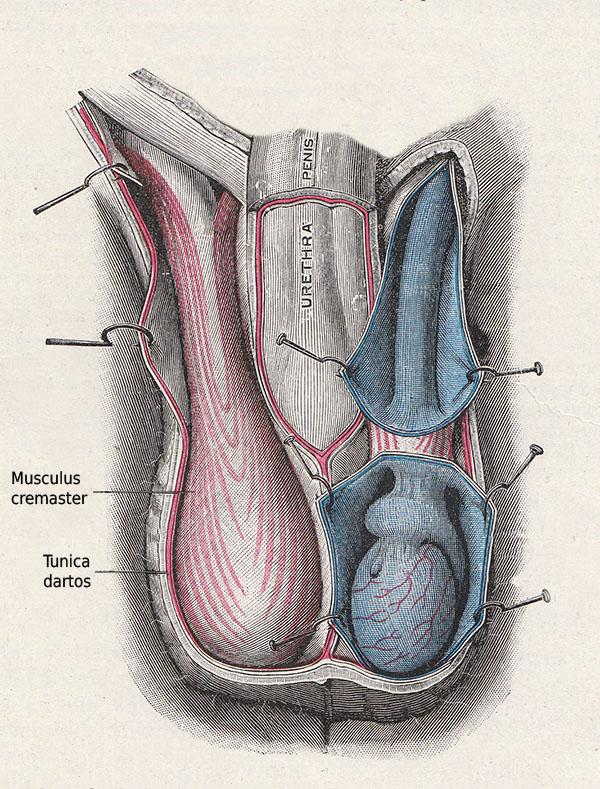 Anatomie des Hodensacks. Cyberdoktor Patientenberatung.