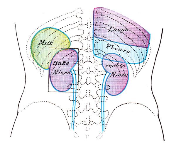 Anatomie Organe Mensch Innere Organe Des Menschen Anatomie Organe ...