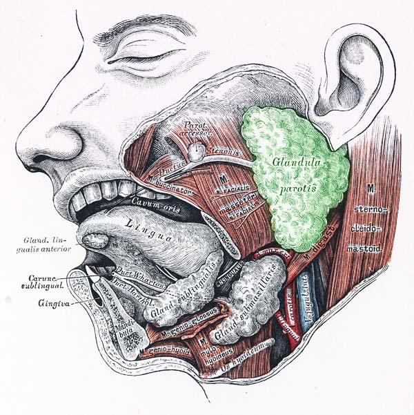 Speicheldrüsen by Chris Colling on Prezi
