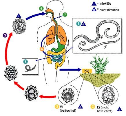 Die Würmer die Prophylaxe des Heimes